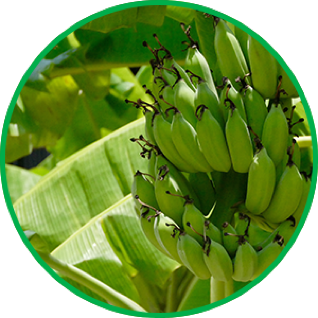 Banana tissue culture in India
